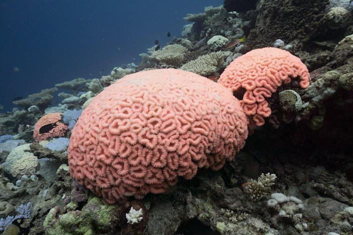 Two bright pink coral mounds
