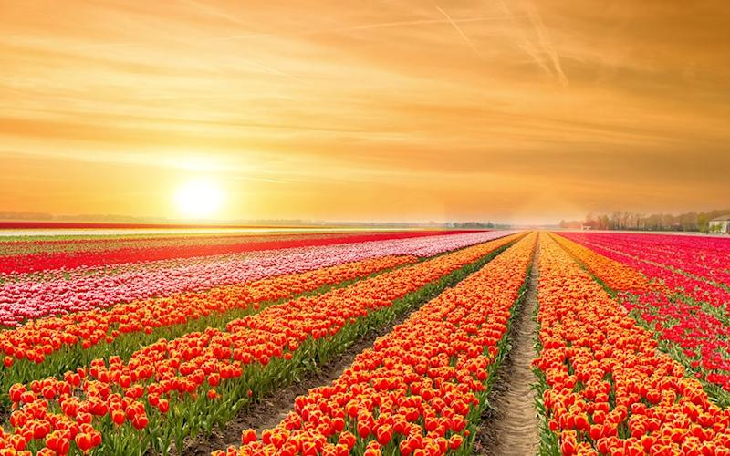 Admire the beauty of Holland's floral landscape this spring - ©ake1150 - stock.adobe.com