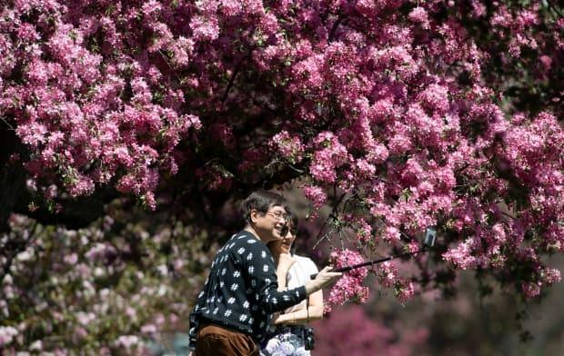 Jim Wong and Tracy Ng take a photo in front of a blossoming tree as they pause during a walk through the Central Experimental Farm in Ottawa on May 14, 2021. (Adrian Wyld/Canadian Press - image credit)