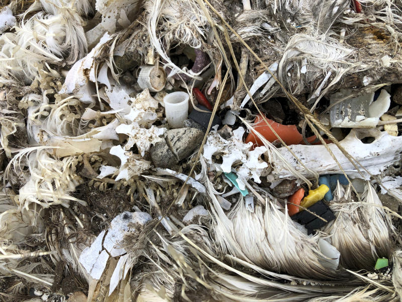 In this Oct. 22, 2019, photo, plastic sits in the decomposed carcass of a seabird on Midway Atoll in the Northwestern Hawaiian Islands. Midway is littered with countless bird skeletons that have brightly colored plastic protruding from their now decomposing intestines. Bottle caps, toothbrushes and cigarette lighters sit in the centers of their feathery carcasses. (AP Photo/Caleb Jones)