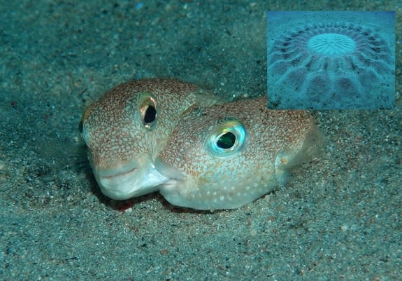 The male of this pufferfish species (shown biting the cheek of a female) creates elaborate circles (inset) in the sandy seafloor to attract mates.