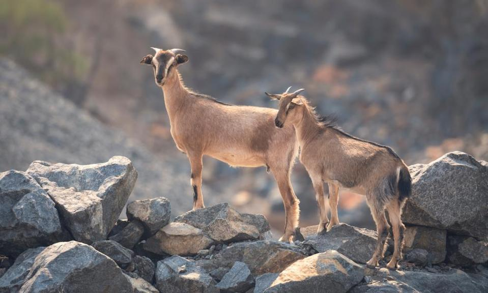 Two goats, one adult and one juvenile, standing atop rocks in Australia.