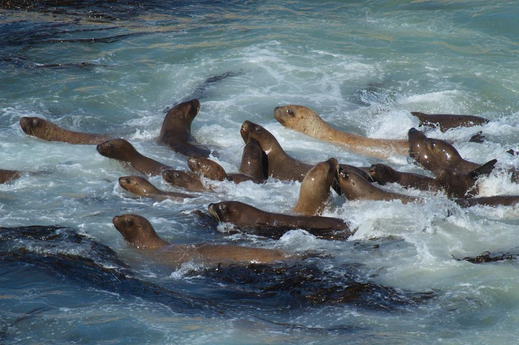 <b>Southern Sea Lion</b> (Otaria flavescens)<br>Punta San Juan, Peru<br><br>Southern sea lions feed primarily on bottom-dwelling creatures (like squid), but they'll also eat penguins and swallow stones.