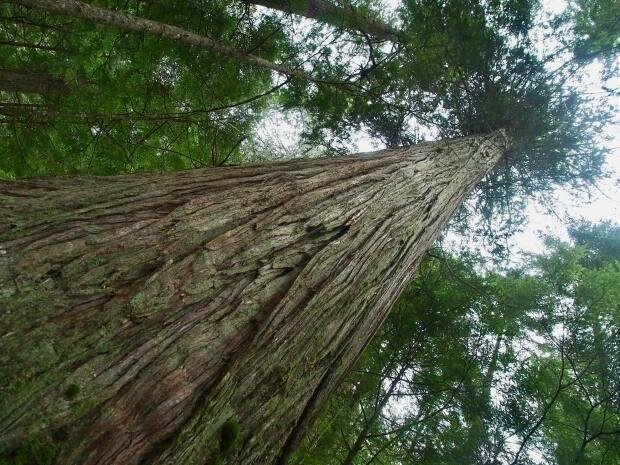 Five First Nations on Vancouver Island and B.C.'s Central Coast are taking steps to ensure there are enough western redcedars for making totem poles, canoes and traditional big houses in the future. (Ken Lertzman - image credit)