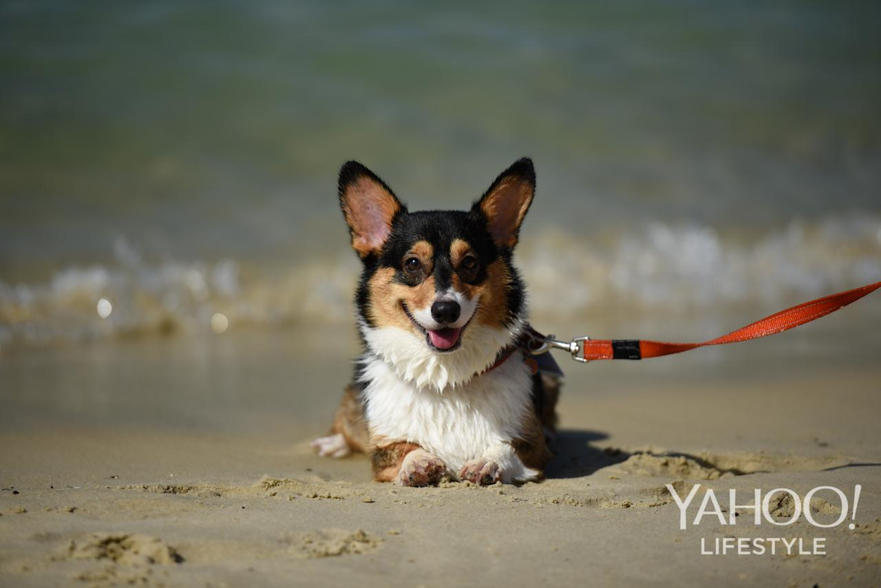 <p>A corgi sits by the water at Tanjong Beach, Sentosa, on 2 December, 2017. (Photo: Yahoo Lifestyle Singapore/Bryan Huang) </p>
