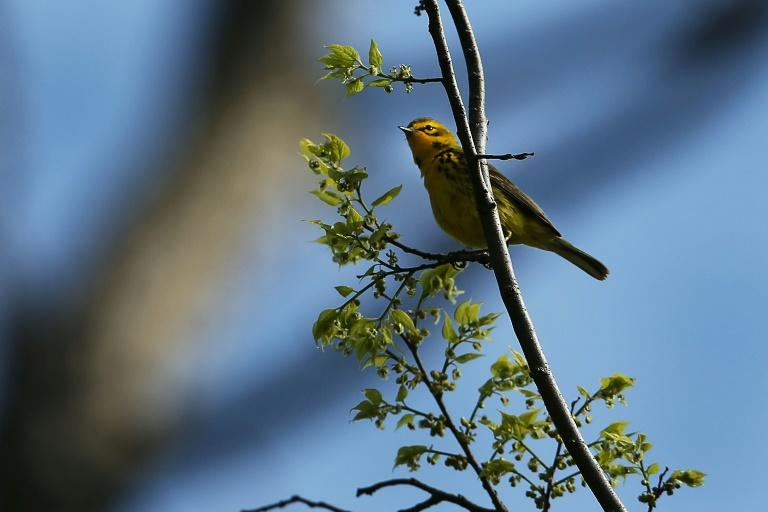 A Prairie Warbler spotted at Prospect Park in the Brooklyn borough of New York City in 2014