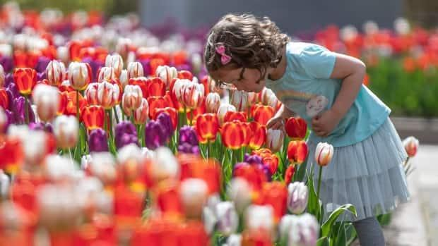 Three-year-old Anya sniffs a multicoloured tulip bed in Ottawa May 13, 2021. (Brian Morris/CBC - image credit)