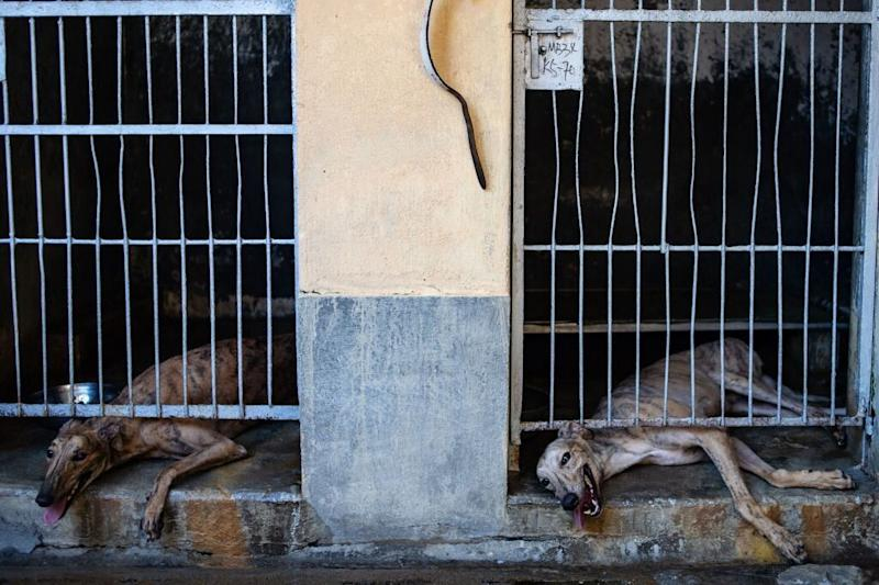 Australian greyhounds at the Canidrome Club in Macau, China. The racetrack was opened in 1931 and closed in 2019.