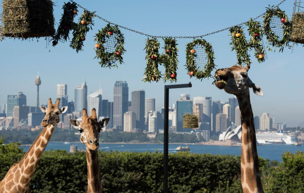 <p>The giraffes discover their Ho Ho Ho wreath of treats at Taronga Zoo in Sydney, Australia. The Christmas-themed treats and enrichment were developed and refined by Taronga Zoo keepers and the Zoos' Behavioural Studies Unit with the aim of maintaining the animals' wildness. (James D. Morgan/Getty Images) </p>