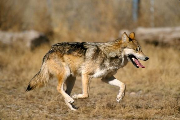 Mexican Wolf Population in US Grows for 3rd Year