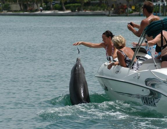 A group of boaters illegally feed Beggar the dolphin near Sarasota, Fla. in this undated photo.