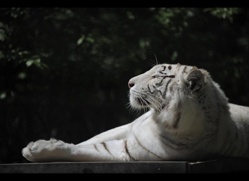 Tigryulia, a 3-year-old white Bengal tiger is seen in the Ukraine's biggest zoo in the Black Sea resort city Yalta, Friday, May 11, 2012. A beautiful white tiger that became a symbol of Yulia Tymoshenko's presidential campaign has returned to the spotlight by giving birth to four cubs, including a rare albino one. (AP Photo/Andrew Lubimov)