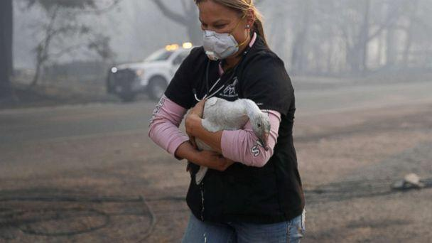 PHOTO: Equine veterinarian Jesse Jellison carries an injured goose to a waiting transport during the Camp Fire in Paradise, Calif. Nov. 10, 2018. (Stephen Lam/Reuters)