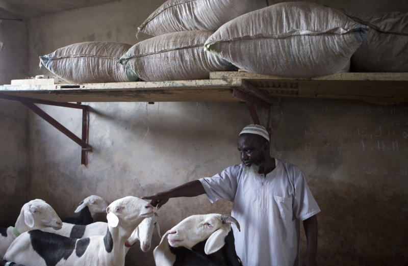 """In this Tuesday, Oct. 9, 2012 photo, a sheep nuzzles the hand of prizewinning sheep breeder Ousmane Ndiaye as he explains the pedigree of each of his dozen animals, in the sheltered rooftop pens he has specially constructed for them atop his home in the HLM neighborhood of Dakar, Senegal. In a nation where sheep are given names and kept inside homes as companion animals, the most popular show on television is """"Khar Bii,"""" or literally, """"This Sheep"""" in the local Wolof language. It's an American Idol-style nationwide search for Senegal's most perfect specimen ahead of the Eid al-Adha festival, known locally as Tabaski. (AP Photo/Rebecca Blackwell)"""