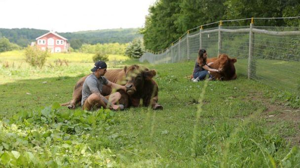 PHOTO: In upstate New York, a different kind of emotional support animal is providing moo-ving experiences for many visitors to Mountain Horse Farm, home to Bella and Bonnie the comfort cows. (ABC)