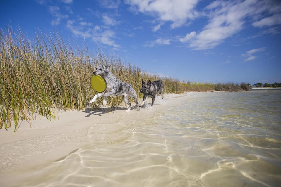 Photo of two dogs playing with a frisbee on a beach in South Walton