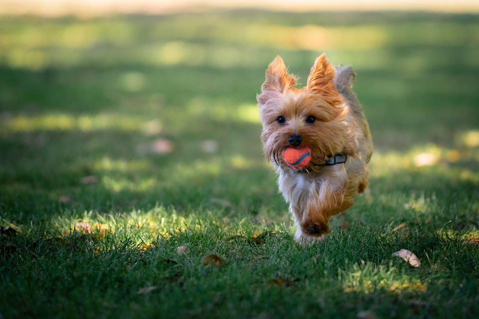Yorkie puppy running in grass fields playing fetch with his owner