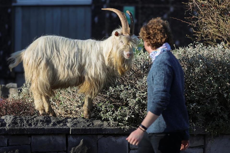<p>A man walks past a goat, as the spread of the coronavirus disease (COVID-19) continues, Llandudno, Wales, Britain February 22, 2021. REUTERS/Carl Recine</p>