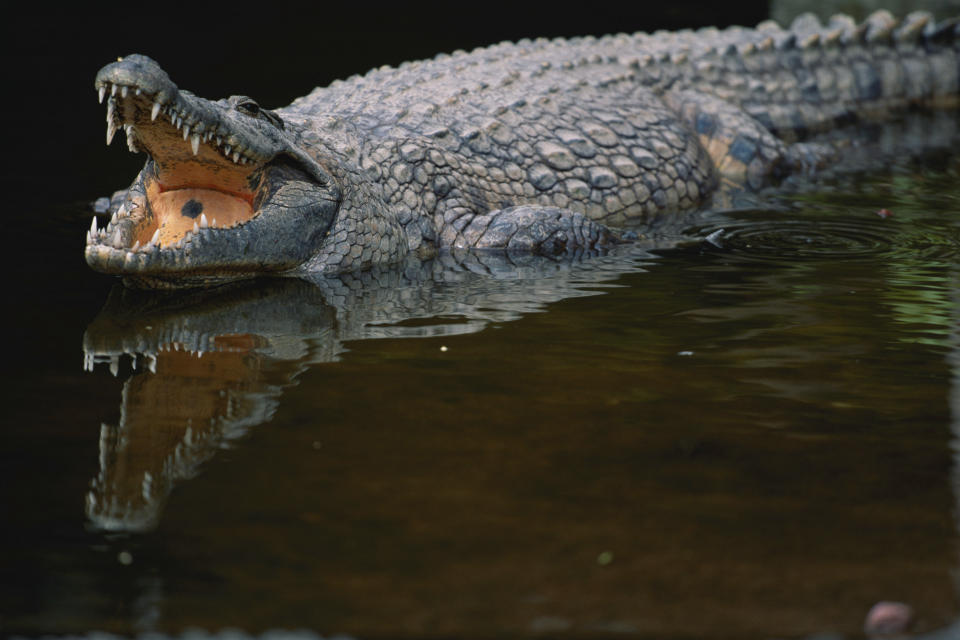 A crocodile is pictured.