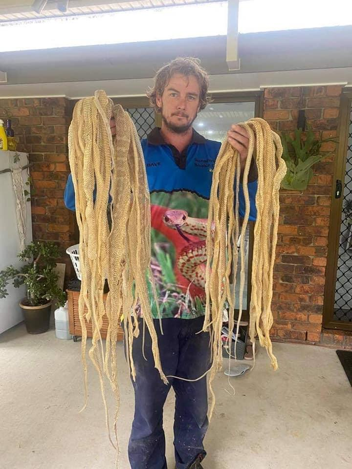 About 50 snake skins were found in a Queensland family's roof. Source: Sunshine Coast Snake Catchers 24/7