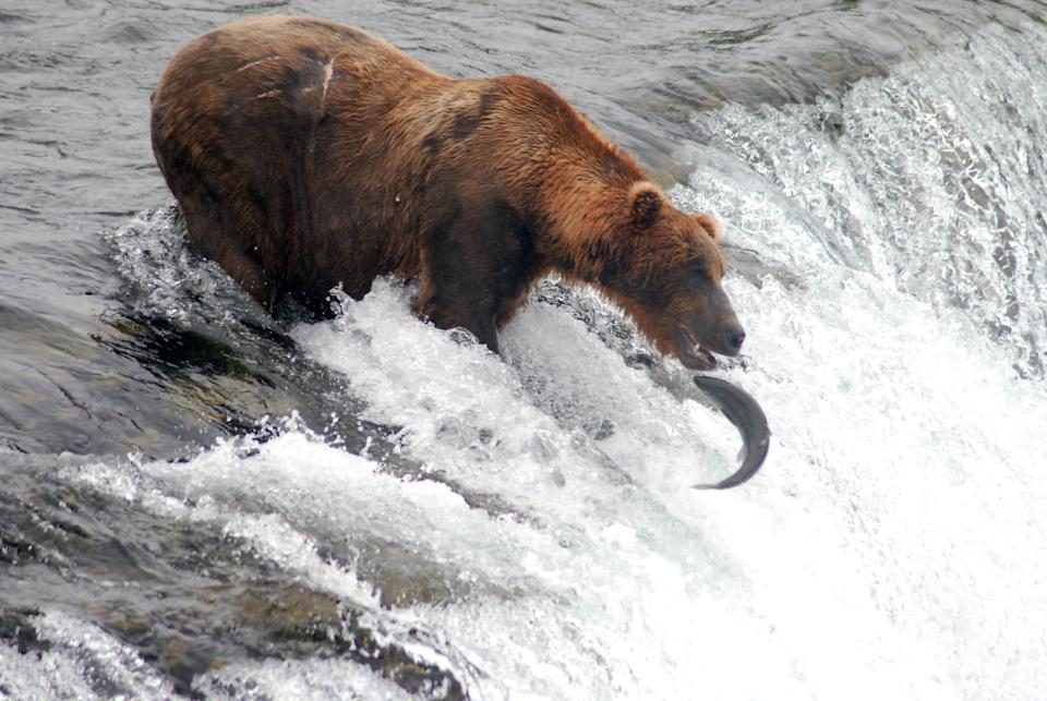 A grizzly catches a salmon attempting to swim upstream at Brooks Falls in Katmai National Park & Preserve near King Salmon, Alaska.