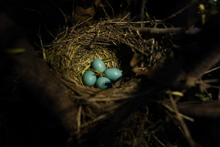 Four blue robin eggs are seen in the morning light, Thursday, May 6, 2021, in Silver Springs, Md. (AP Photo/Carolyn Kaster)