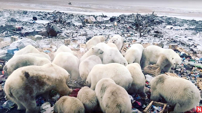50 Polar Bears Searching For Food Invade Russian Town, Terrifying Residents
