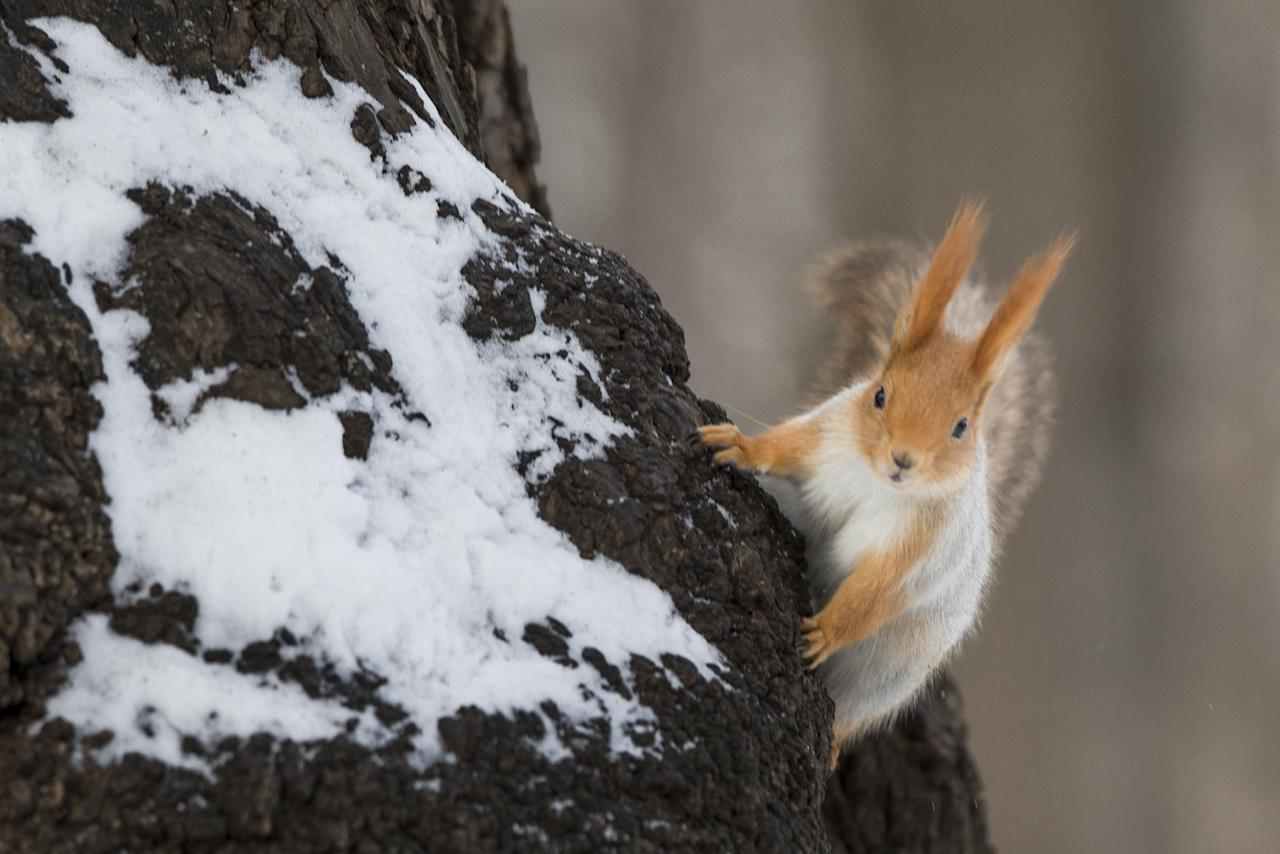"In this photo taken on Monday, Feb. 3, 2014, a squirrel climbs a tree in Moscow's ""Neskuchny Sad"" park in Moscow, Russia. One by one, the bushy-tailed residents of Moscow's parks have been disappearing. The problem: Russians have gone nuts for squirrels. City official Alexei Gorelov told the Associated Press on Wednesday that he has received multiple reports of squirrel poaching in local parks. In response, municipal authorities on Jan. 31 ordered bolstered security for all of Moscow's green areas. (AP Photo/Alexander Zemlianichenko)"