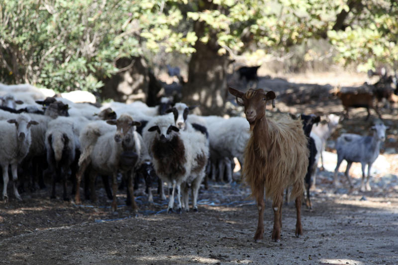 In this Sept. 7, 2019, photo, goats and sheep graze freely near the beach in Kipos village, on Samothraki island, northeastern Greece. Goat herding is a way of life on Samothraki, a hard-to-reach Greek island in the northern Aegean Sea, but experts and locals are working together to control the animal population that has left its mountains barren and islanders under the threat of mudslides. (AP Photo/Iliana Mier)