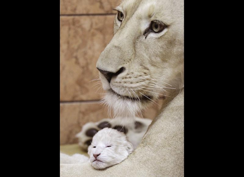 A two-day-old white lion cub playing with its mother Sumba, in Belgrade Zoo, Serbia, Thursday, Dec. 22, 2011. Serbia, Wednesday, April 20, 2011. The four white lions cubs, an extremely rare subspecies of the African lion were recently born in Belgrade Zoo. White lions are unique to the Timbavati area of South Africa and are not albinos but a genetic rarity. (AP Photo/Darko Vojinovic)