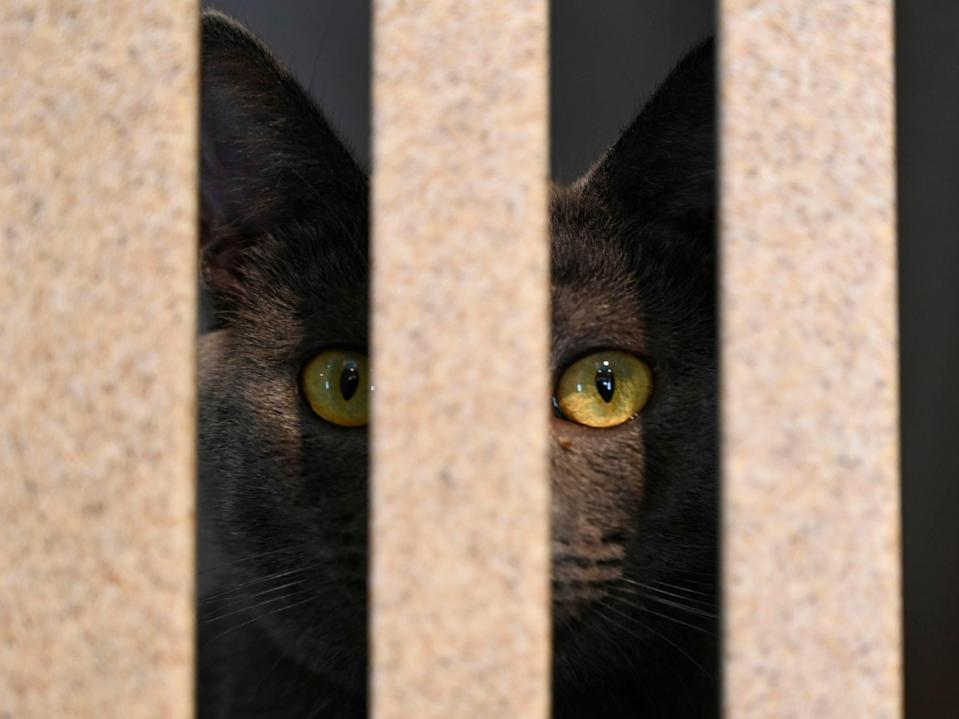 <p>A cat looks out of its pen at the Humane Rescue Alliance shelter on 19 June, 2019 in Washington, DC</p> (AFP via Getty Images)