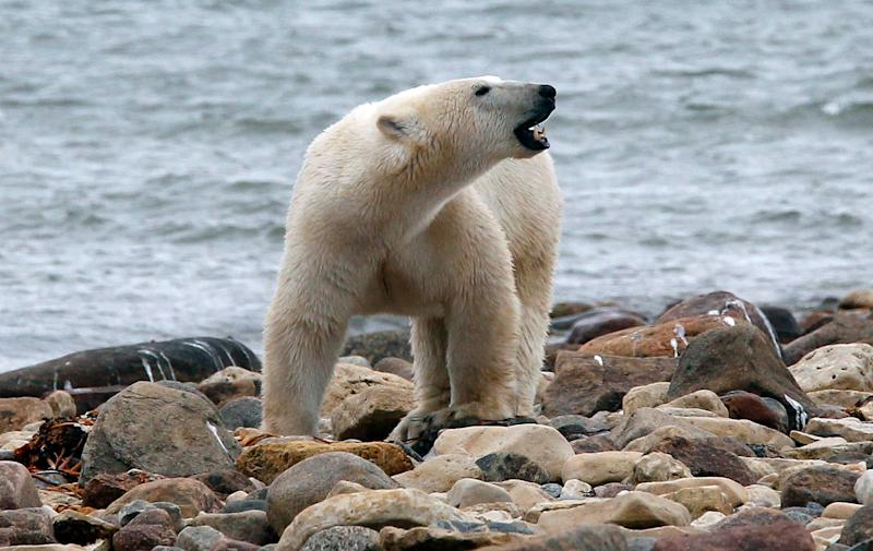 A polar bear walks along the shore of Hudson Bay near Churchill, Manitoba August 23, 2010. REUTERS/Chris Wattie (CANADA - Tags: ANIMALS)