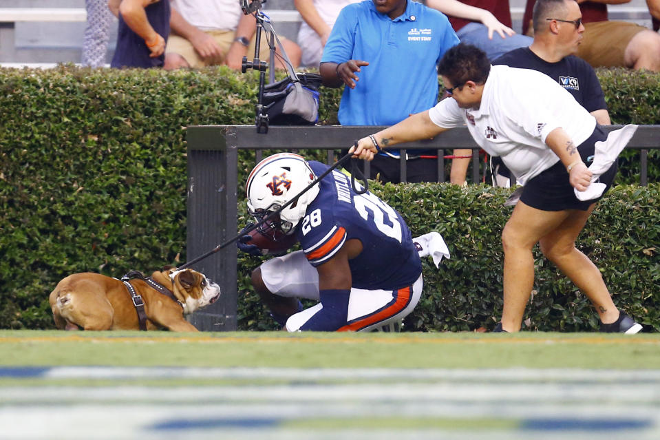 Auburn running back JaTarvious Whitlow (28) runs into the mascot for Mississippi State, Bully, after scoring a touchdown during the first half of an NCAA college football game, Saturday, Sept. 28, 2019, in Auburn, Ala. (AP Photo/Butch Dill)