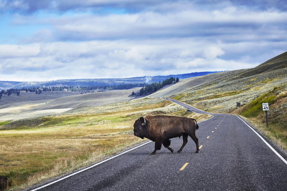 A large bison crossed the road in Lamar Valley, Yellowstone National Park, Wyoming. (Photo: Getty Images)