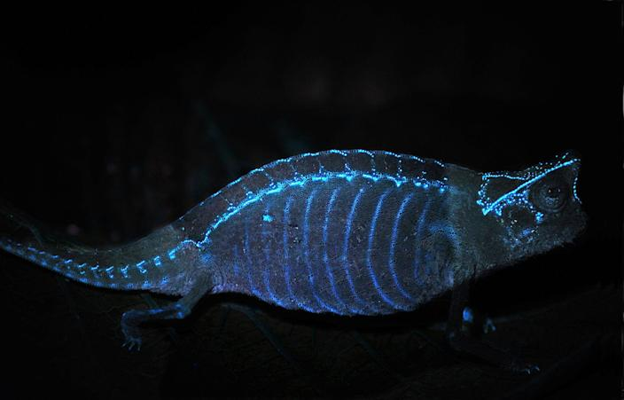 In the brown leaf chameleon ( <i>Brookesia superciliaris</i>), tubercles on its skeleton generate glowing patterns of dots that are visible through its skin. <cite>David Prötzel (ZSM/LMU)</cite>