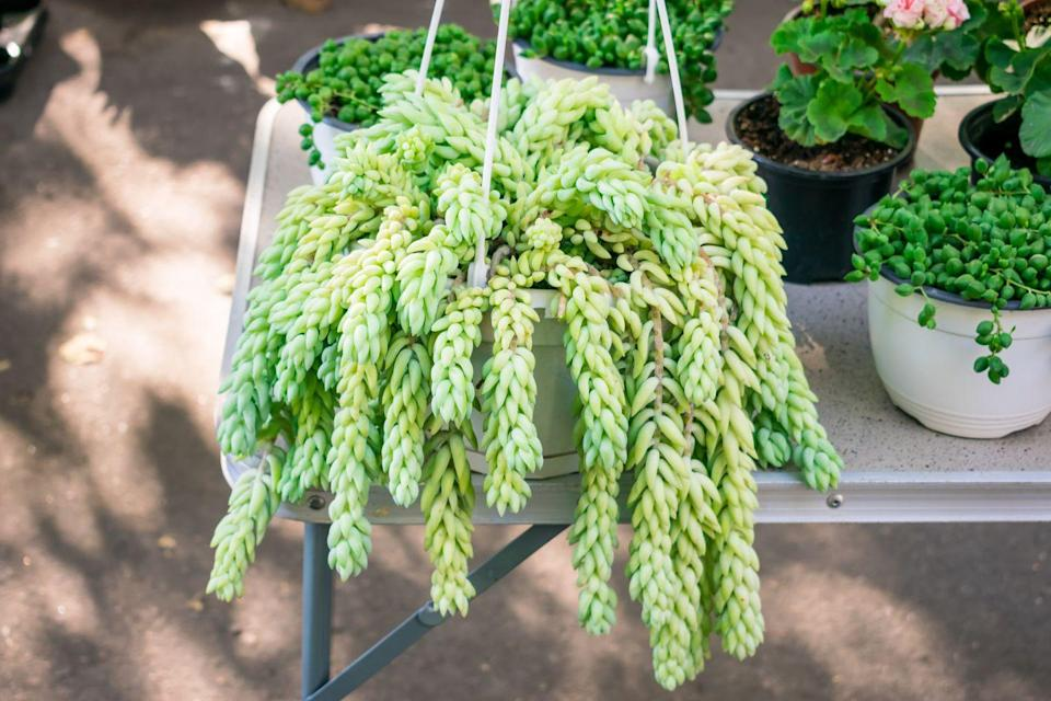 <p>This succulent clearly earns its name from its long, tail-like woven branches, which look stunning hanging from a pot or basket.</p><p><strong>Zones: 10a, 10b, 11</strong></p>