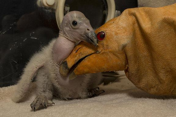 Two-week-old Wesa is the first California condor chick of the season born to the San Diego Zoo Safari Park in 2013. The condor puppet is like a glove and used by keepers to care for the baby bird and avoid it identifying with humans.