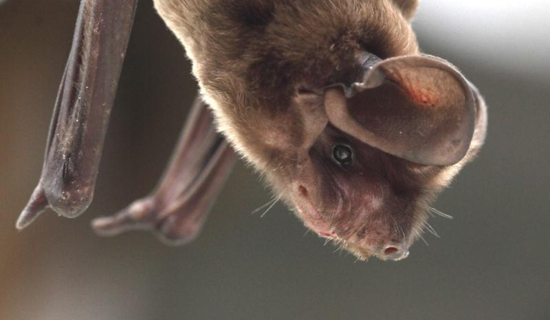 Handout shows an injured Florida bonneted bat recuperating at Zoo Miami