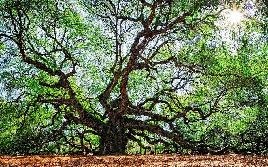 "<p>Southern live oaks are iconic symbols of the South, their branches dripping with Spanish moss that catches the light in a certain romantic way.</p><p>This particular specimen on Johns Island just outside <a rel=""nofollow"" href=""http://www.travelandleisure.com/travel-guide/charleston"">Charleston</a> is a prime example of the species: 66 feet tall and 28 feet in circumference with thick limbs that sprawl upward and outward, casting shade over a camera-frame filling 17,200 square feet. Housed in a free public park dedicated to its viewing, the <a rel=""nofollow"" href=""http://www.postandcourier.com/columnists/taking-care-of-the-angel-oak-a-grand-old-lady/article_020f6f0b-e8f3-515e-bd5b-9fe39d0856ec.html"">Angel Oak</a> is a place to ponder the immensity of nature and our small individual place within it.</p>"