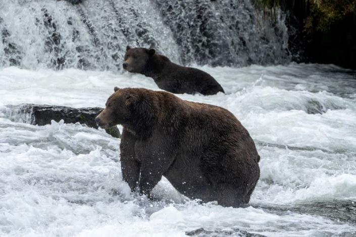 Brown bear 747, the winner of Fat Bear 2020, stands in a river hunting for salmon in Alaska