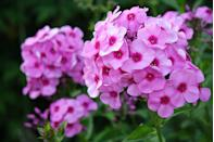 """<p>These star-shaped flowers come in a variety of bright colors. Easy to maintain, these fragrant flowers attract butterflies and hummingbirds.</p><p><strong>Bloom seasons: </strong>Spring and summer</p><p><a class=""""link rapid-noclick-resp"""" href=""""https://go.redirectingat.com?id=74968X1596630&url=https%3A%2F%2Fwww.homedepot.com%2Fp%2FVan-Zyverden-Tulips-Bulbs-Triumph-Mixture-Set-of-25-21595%2F302431191&sref=https%3A%2F%2Fwww.redbookmag.com%2Fhome%2Fg35661704%2Fbeautiful-flower-images%2F"""" rel=""""nofollow noopener"""" target=""""_blank"""" data-ylk=""""slk:SHOP TULIPS"""">SHOP TULIPS</a></p>"""