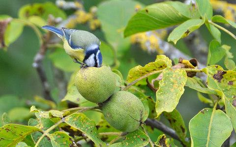 All kinds of wildlife appreciate an unripe walnut - Credit: Patrick Glaume/Biosphoto