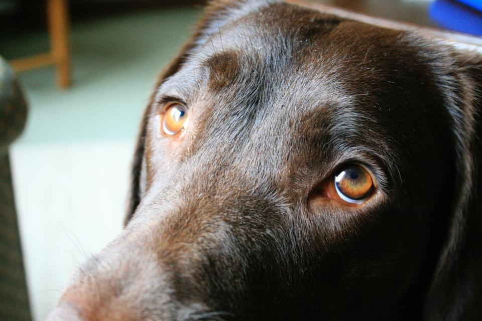 Dogs' sad eyes evolved to appeal to humans (PA)