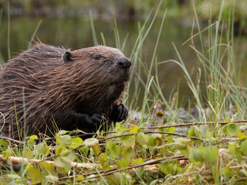 Beavers create perfect conditions for other species to thrive, as well as reducing impacts of flooding: Getty