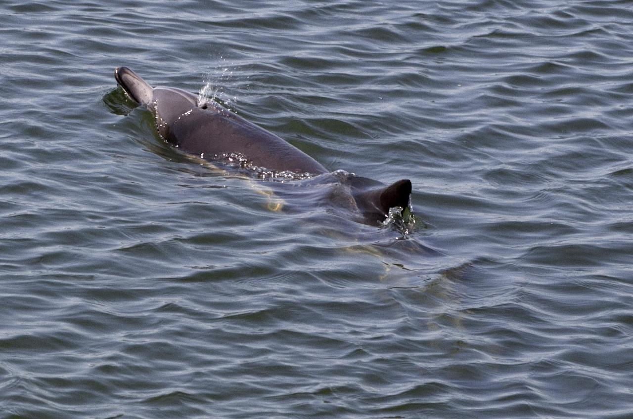 A dolphin swims in Orange County's Bolsa Chica wetlands in Huntington Beach, Calif., on Friday, April 27, 2012. Marine mammal experts in Southern California have decided to wait and see whether this dolphin that strayed into a shallow wetlands channel can find its way out. The healthy, strong and fast dolphin will not let people get close, and officials say it could be harmful to the animal and rescuers if a capture is attempted. (AP Photo/Damian Dovarganes)