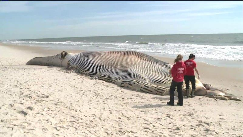 A dead whale washed ashore on Long Island, an animal rescue group said. The whale was spotted on Thursday on the sand at Smith Point Beach in Suffolk County, according to the Riverhead Foundation, a nonprofit group based on Long Island that rescues and rehabilitates marine mammals in New York.