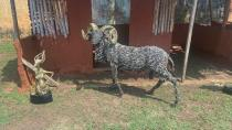An artwork of a ram made of sparks plugs is seen displayed during the unveiling of Lucas Osarobo- Okoro's largest bronze plaque in Benin