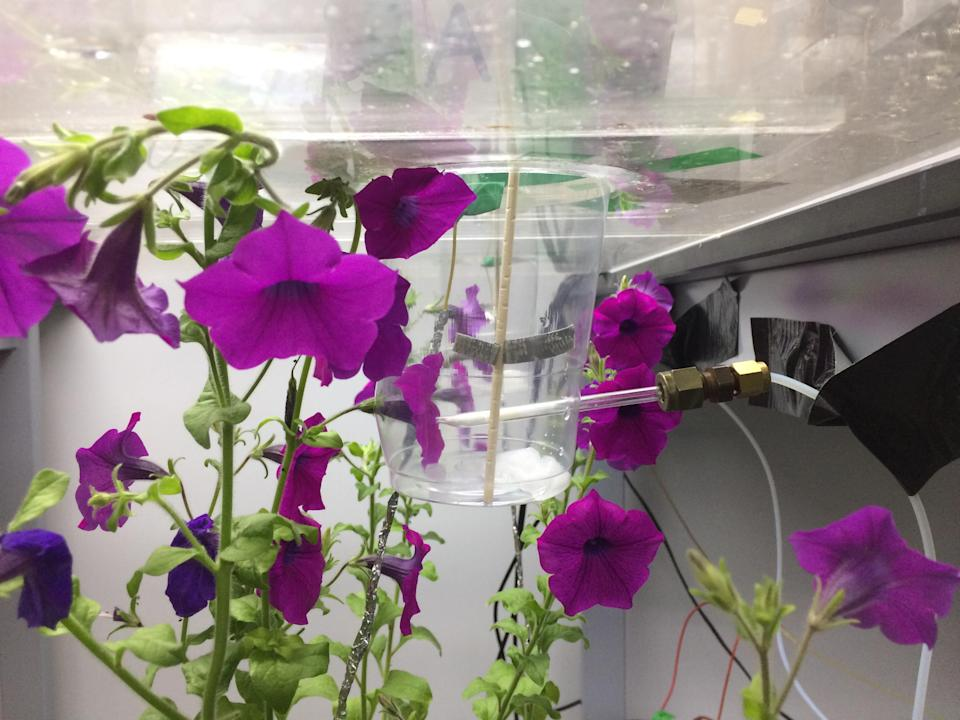 Pollinators have long been known to carry positive electric charges, but this is the first demonstration of plants using this to their advantage (Clara Montgomery/University of Bristol/PA)