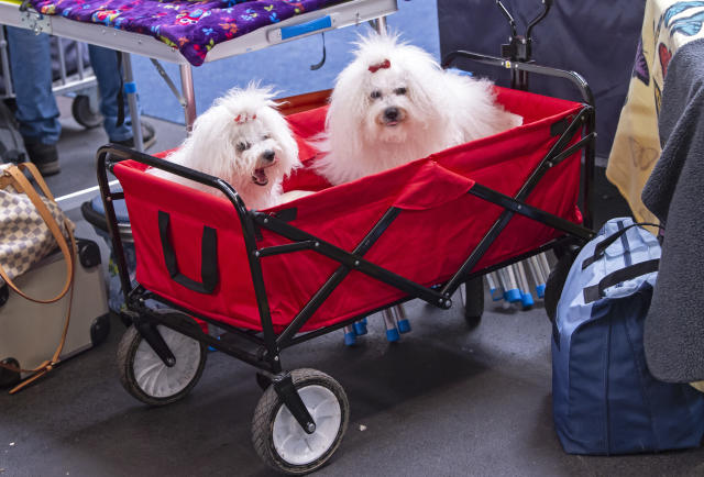 <p>Malteser dogs wait in a buggy during an international dog and cat exhibition in Erfurt, Germany, June 16, 2018. (Photo: Jens Meyer/AP) </p>