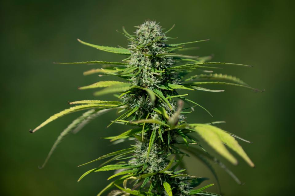 An industrial hemp (Cannabis sativa) plant at the Agropolis parc of the Polytechnic University of Catalonia in Viladecans, near Barcelona, Spain. Photo: Josep Lago/AFP via Getty Images
